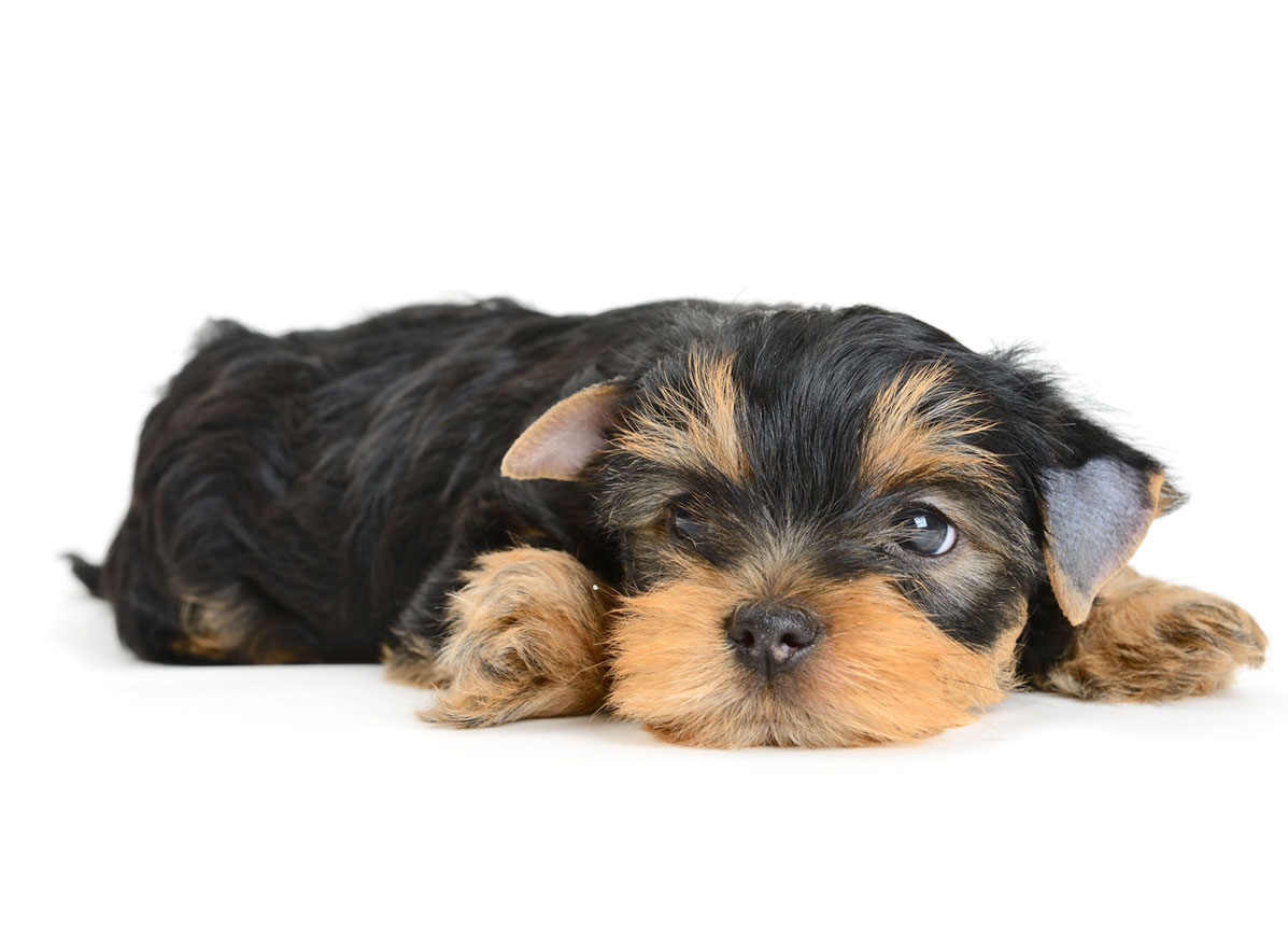 Yorkie Puppies for Sale Florida